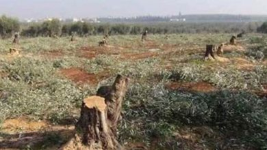Photo of The Ankara factions continues to log the trees in Afrin.